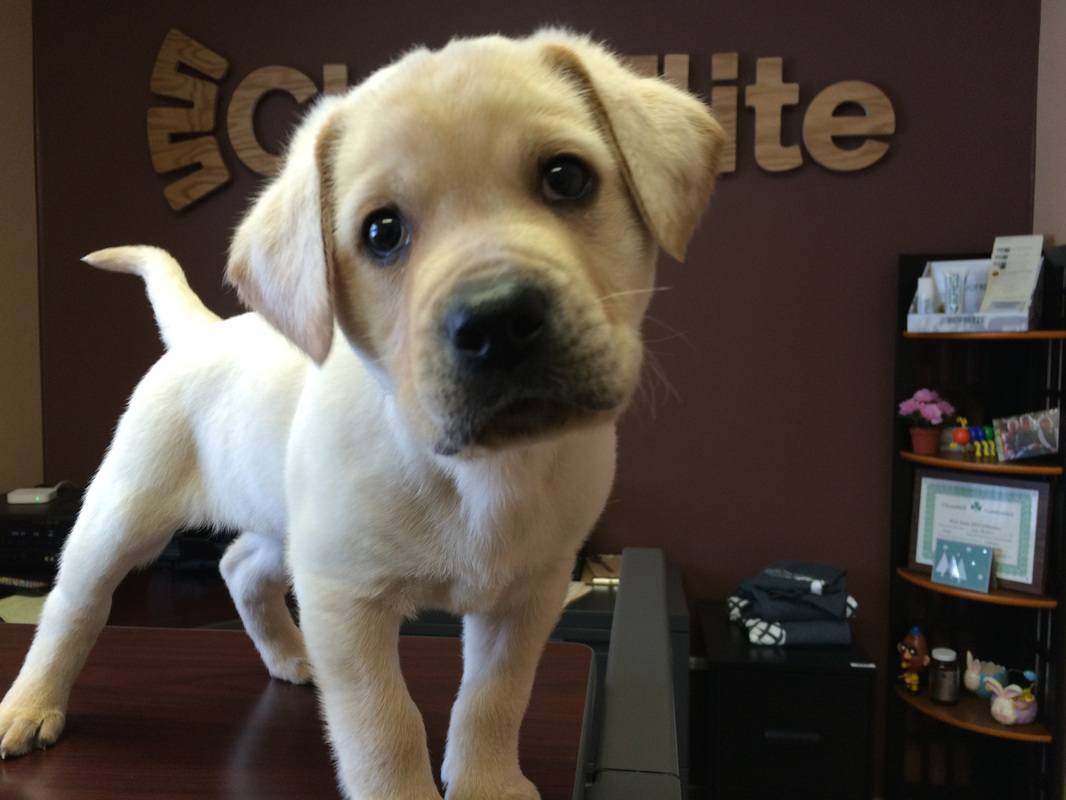 yellow lab puppy, clinic dog, chiropractor eau claire, wisconsin, chiroelite